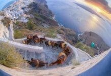 Donkeys against colorful sunset on Santorini island in Greece